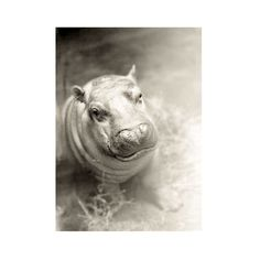 Baby Animal Art Hippo Photograph -Hippopotamus Black White Nursery Decor Print