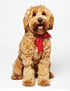Ganaraskan puppy - bred in Port Hope, Ontario - a mix of schnauzer, poodle, cocker spaniel and bichon frisé - to be the best of each breed, but infinitely less precious