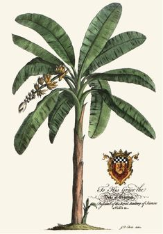 Intaglio art prints: Palm Banana Palm Tree, Restrike etchings - Botanical art prints (fruit and floral) West Indies Decor, West Indies Style, Illustration Botanique, Botanical Illustration, Vintage Botanical Prints, Botanical Art, Palm Tree Print, Palm Trees, British Colonial Decor