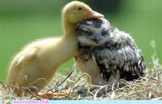 duckling and baby owl nuzzling