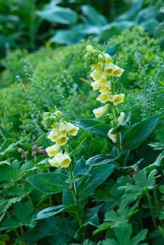 Yellow foxglove (Digitalis grandiflora)