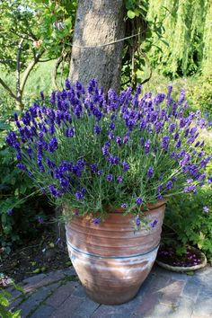 lavendel Kitchen remodeling and design ideas Article Body: The kitchen is the one room where members Lavender Cottage, Lavender Fields, Lavender Flowers, Potted Lavender, Lavander, Cottage Garden Plants, Garden Pots, House Plants, Container Plants