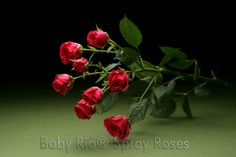 Baby Rio® LOVELY LYDIA Spray Rose