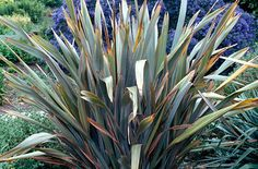 Phormium 'Sundowner' (v). Genus of 2 species from New Zealand. Grows best in fertile well-drained soil in full sun. May need protecting in northern climes. Provides a focal point in a border, by a building or at the edge of a lawn. Ideal for a coastal garden.