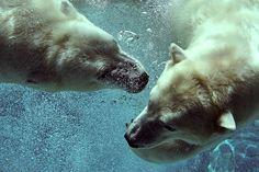 Polar Bears (by Mark Philpott)