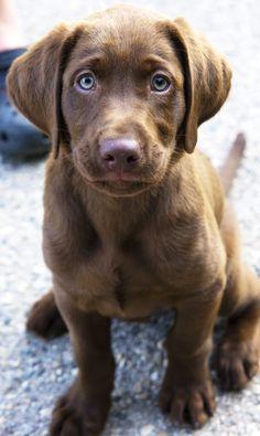 Chocolate lab puppy.