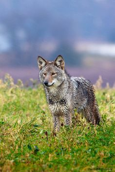 Wet with the morning dew. #Coyote