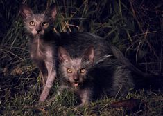 Lykoi Cats or (Werewolf cats)