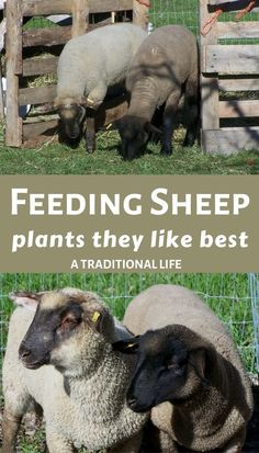 When raising sheep, it helps to know what your animals like best. Here is a list of plants that sheep like to feed on, when given the choice. Pet Sheep, Baby Sheep, Sheep Farm, Sheep Shelter, What Do Sheep Eat, Wildlife Photography, Animal Photography, Raising Farm Animals, Goat Care