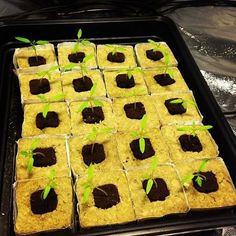 Photo Credit @a1mhydro Tomoto Seedlings in Root Riots plugged into Grodan Rockwool Delta Blocks