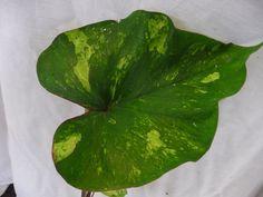 Caladium bicolor. #3