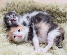 Cat Behaviors And What They Mean Biting – Cat Care Advice Cute Kittens, Cats And Kittens, Crazy Cat Lady, Crazy Cats, I Love Cats, Big Cats, Animals And Pets, Cute Animals, Kitten Care
