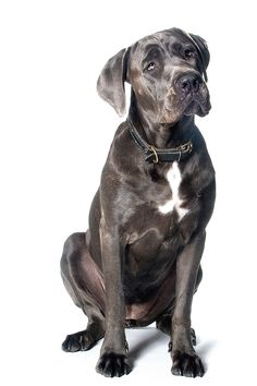 Cane Corso - prefer them without ears cropped