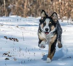 The Aussie Weekly #121 — The Weekly Special Feature for Australian Shepherd Lovers — Photo: Lisa Hostetter, Aussie: Cella