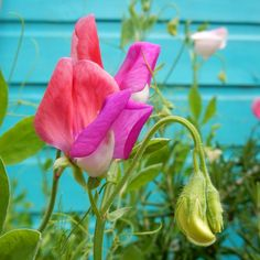 Day 23 Flower for #colourmyeveryday. Lucy is loving her sweet peas!