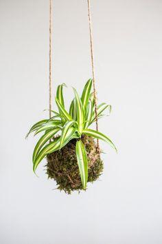 Kokedama Ball, Spider Plant, Gift for Plant Lover Air Plants, Garden Plants, Indoor Plants, House Plants, Ficus, String Garden, Spider Plants, Types Of Plants, Indoor Garden