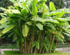 Banana plants prefer a light, well-draining soil. To aid in drainage quality add raised areas above heavier soil to allow thin roots of banana tree to spread. Choose warmest location on property for they need full sun; twelve hours a day is optimal. Tropical Landscaping, Tropical Plants, Arizona Landscaping, Tropical Gardens, Como Plantar Banana, Hedges, Florida Plants, Banana Plants, Banana Fruit