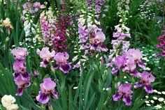 Renee Fraser's garden - Plum Pretty Whiskers irises