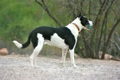 Most people have never heard of a McNab stock dog (also known as a McNab Border Collie). Meet Earl the McNab. Short Haired Border Collie, Mcnab Dog, Dog Breeds List, Old Dogs, Training Your Dog, Dog Photos, Dog Life, I Love Dogs, Pet Birds