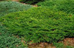 Juniperus sabina 'Broadmoor' - Gavallérkert faiskola - dísznövények, cserjék és örökzöldek a kertben. Stepping Stones, Garden, Outdoor Decor, Plants, Image, Pallet, Google, Landscape, Stair Risers