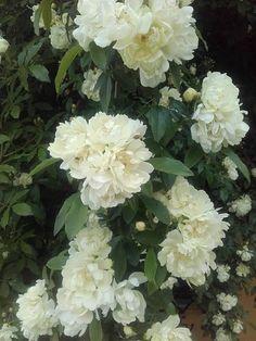 Rosa banksiae 'Purezza'. Das Bild verdanken wir Sonia Filippin.