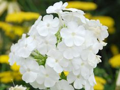 Phlox David - Best white flowers with mildew-proof foliage! Fragrant flowers thrive with Sedums, Coneflowers, Knockout Roses.