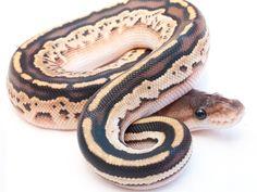 Bongo Lesser Cinnamon - Morph List - World of Ball Pythons Reticulated Python Morphs, Ball Python Morphs, Pretty Snakes, Beautiful Snakes, Cute Reptiles, Reptiles And Amphibians, Geckos, Milk Snake, Burmese Python