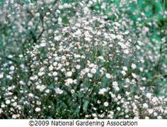 Plant Care Guides :: National Gardening Association: Growing Baby's Breath