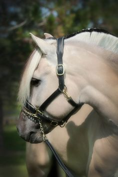 Norwegian Fjord Horse - from Silver Drache Horse Farm in Indianapolis, Indiana.