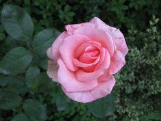 růžová růže / pink rose