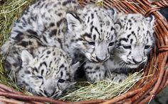 Tres leopardos de las nieves recién nacidos son presentados en el zoo de Karlsruhe, Alemania (EPA, 2015)