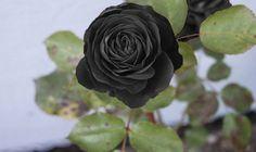 Halfeti Rose via Ulke Haber