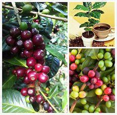 Kona Coffee Bean Seeds Herb Seeds 100 Seeds by on Etsy Kona Coffee, Bean Seeds, Coffee Beans, The 100, Herbs, Fruit, Handmade Gifts, Etsy, Art