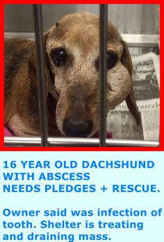 RESCUED --- A1729294 My name is Maple and I'm an approximately 16 years, 9 month old female dachshund. I am already spayed. I have been at the Downey Animal Care Center since May 20, 2015. I am available on May 20, 2015. You can visit me at my temporary home at D715. https://www.facebook.com/photo.php?fbid=873170646096602&set=a.621812584565744&type=1