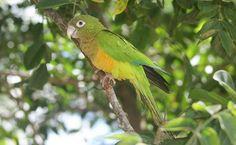 Periquito-da-caatinga (Aratinga cactorum) Encontrado na Caatinga e no Cerrado da região nordeste, o periquito-da-caatinga se alimenta de sementes, frutos e flores – especialmente de cactos.: