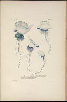 Zoologie, atlas, t. 3 - Voyage autour du monde : - Biodiversity Heritage Library - jelly fish