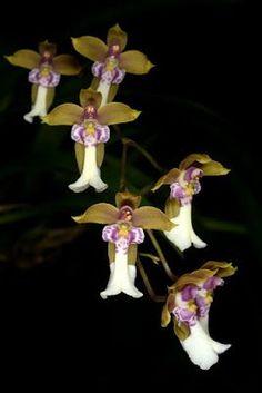 Angel Orchid ~ Ecuaflora - Ecuador Picasa Web Albums