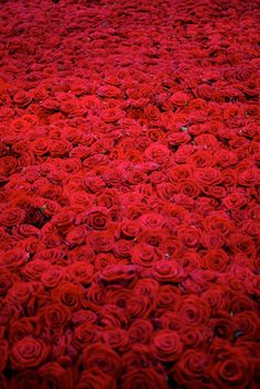 red on green by anya gallaccio: the life and death of 10,000 roses