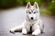 I share with you beautiful siberian husky in this photo gallery. Siberian husky my favorite type of dog. Let's talk a little siberian husky features. Alaskan Husky, Siberian Husky Puppies, Husky Puppy, Siberian Huskies, Pomsky Dog, Pomeranian Puppy, Most Beautiful Dogs, Animals Beautiful, Cute Animals
