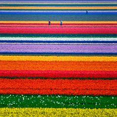 Fields of Gold, Tulip fields just outside Alkmaar, Netherlands