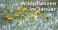 Im Winter findet man selten essbare Wildpflanzen. Mit etwas Glück und dem richtigen Gespür entdeckst du an wärmeren Tagen aber einige zarte Pflänzchen.