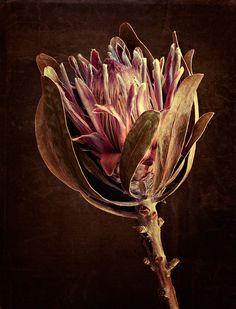 Dawn LeBlanc, Protea, photograph on canvas, 40 x 30 in Botanical Art, Botanical Illustration, Macro Photography, Backlight Photography, Photography Composition, Mountain Photography, Photography Aesthetic, Vintage Photography, Photography Ideas