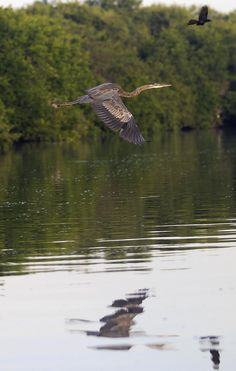 Blue heron in flight looks like the one on my Mom's lake