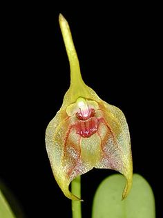 Andy's Orchids - Orchid Species - Masdevallia - sernae