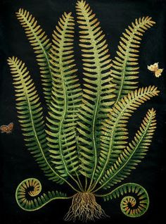 Green, Brown Ferns on Black Background - Paul Montgomery Studio: Botanical Fern 2 Floral Illustration, Illustration Botanique, Nature Illustration, Motif Floral, Arte Floral, Botanical Drawings, Botanical Prints, Botanical Wallpaper, Flora Und Fauna
