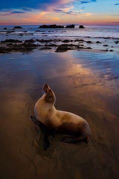 カリフォルニアアシカと夕暮れの空(米国)