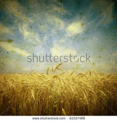 stock photo : Field of wheat; vintage photo