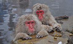 antes e depois de animais tornando-se adultos - Macaco-japonês