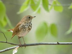 This Bird's Songs Share Mathematical Hallmarks With Human Music | Science | Smithsonian. A hermit thrush perches on a branch in the Pennsylvania woods. Its songs have long been compared to human musical scales. (Courtesy of Flicr user Kelly Colgan Azar)