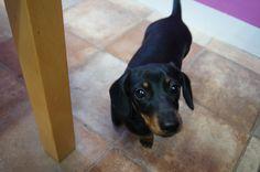 have you seen my bone? #OfficeDog #Dachshund